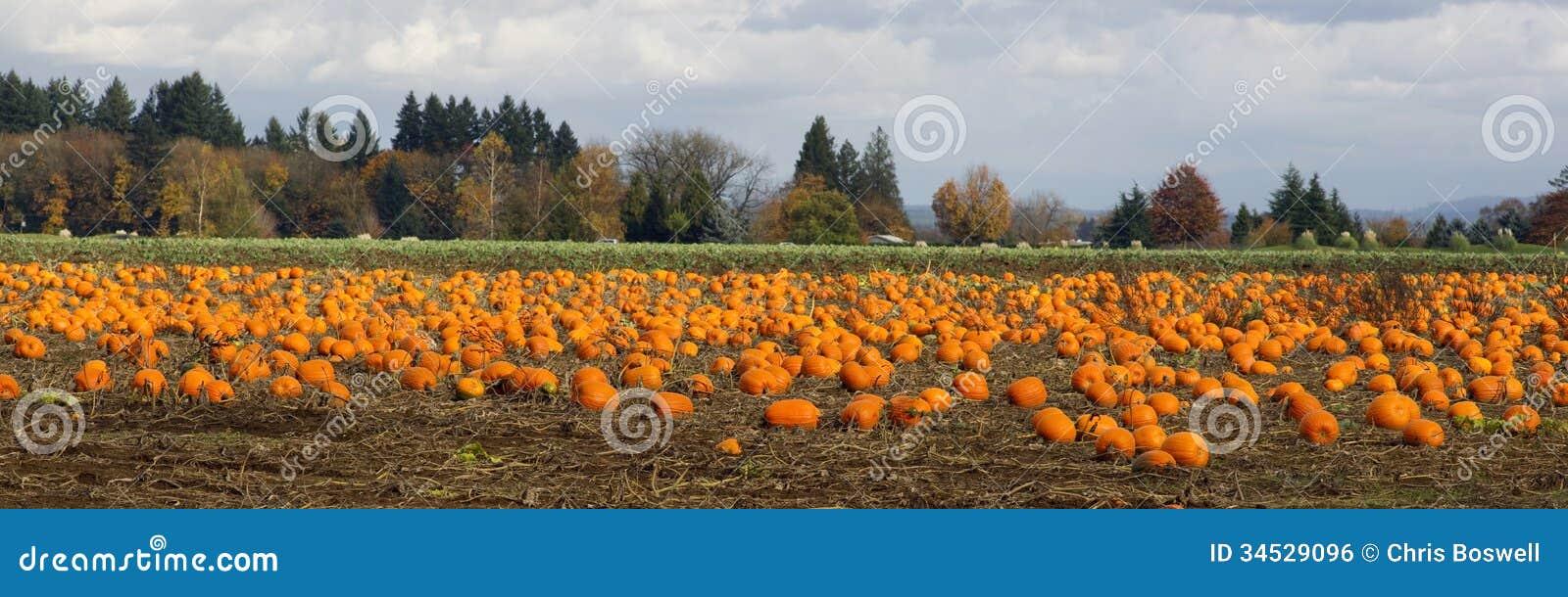 Сбор панорамных овощей заплаты тыквы поля фермы сцены зрелый