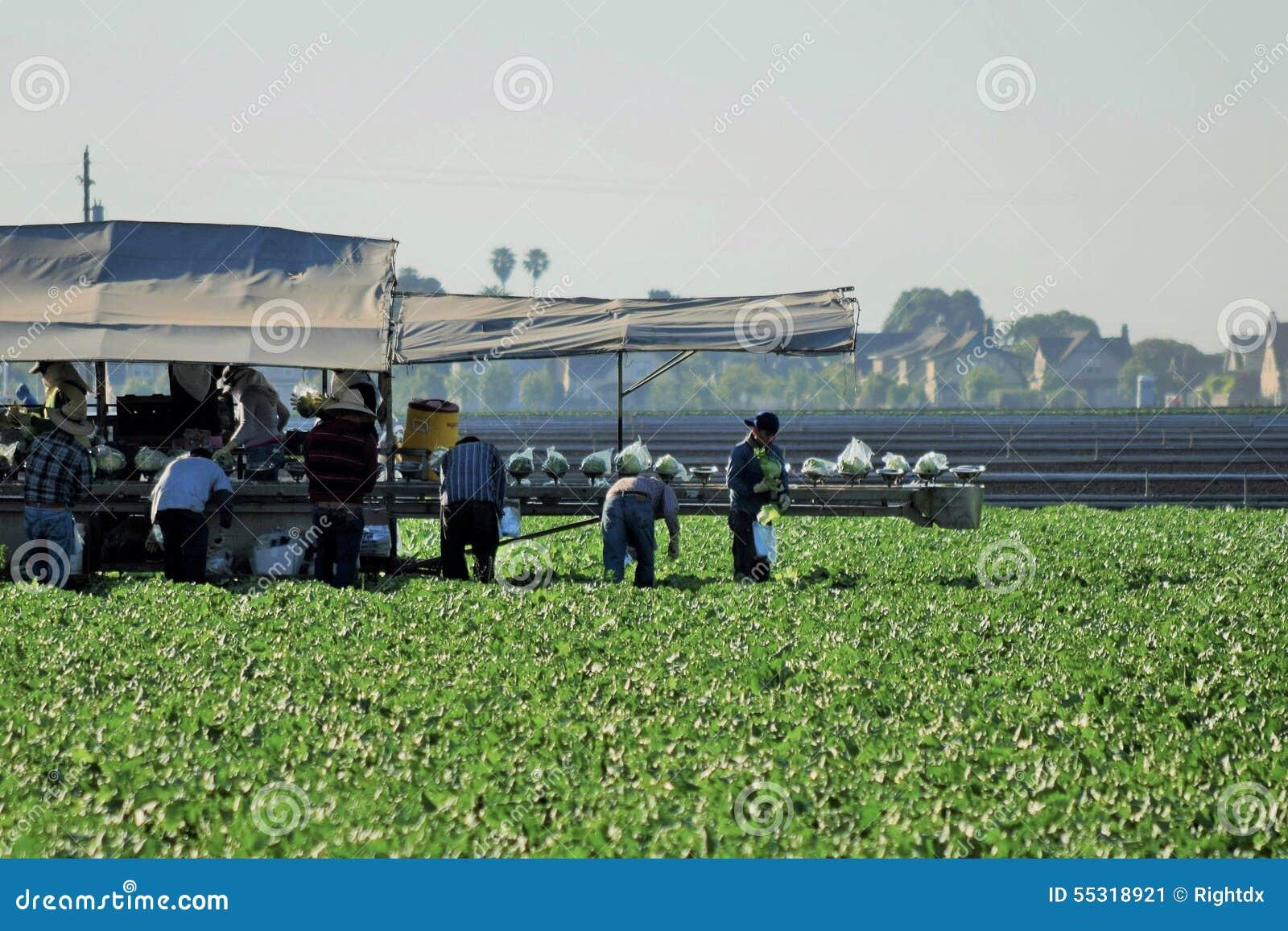 Сбор урожая салата