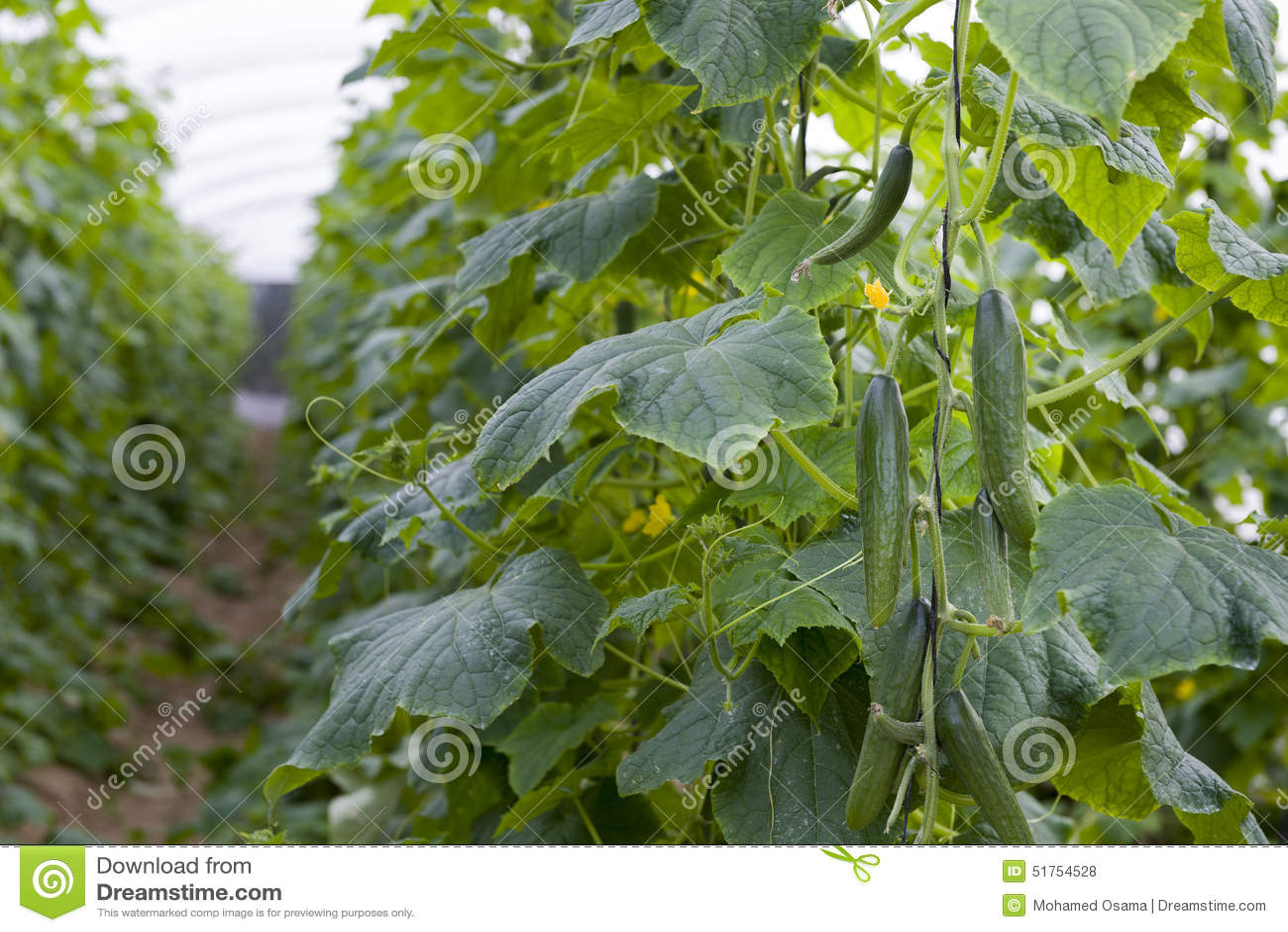 Свежая зеленая линия урожая огурца