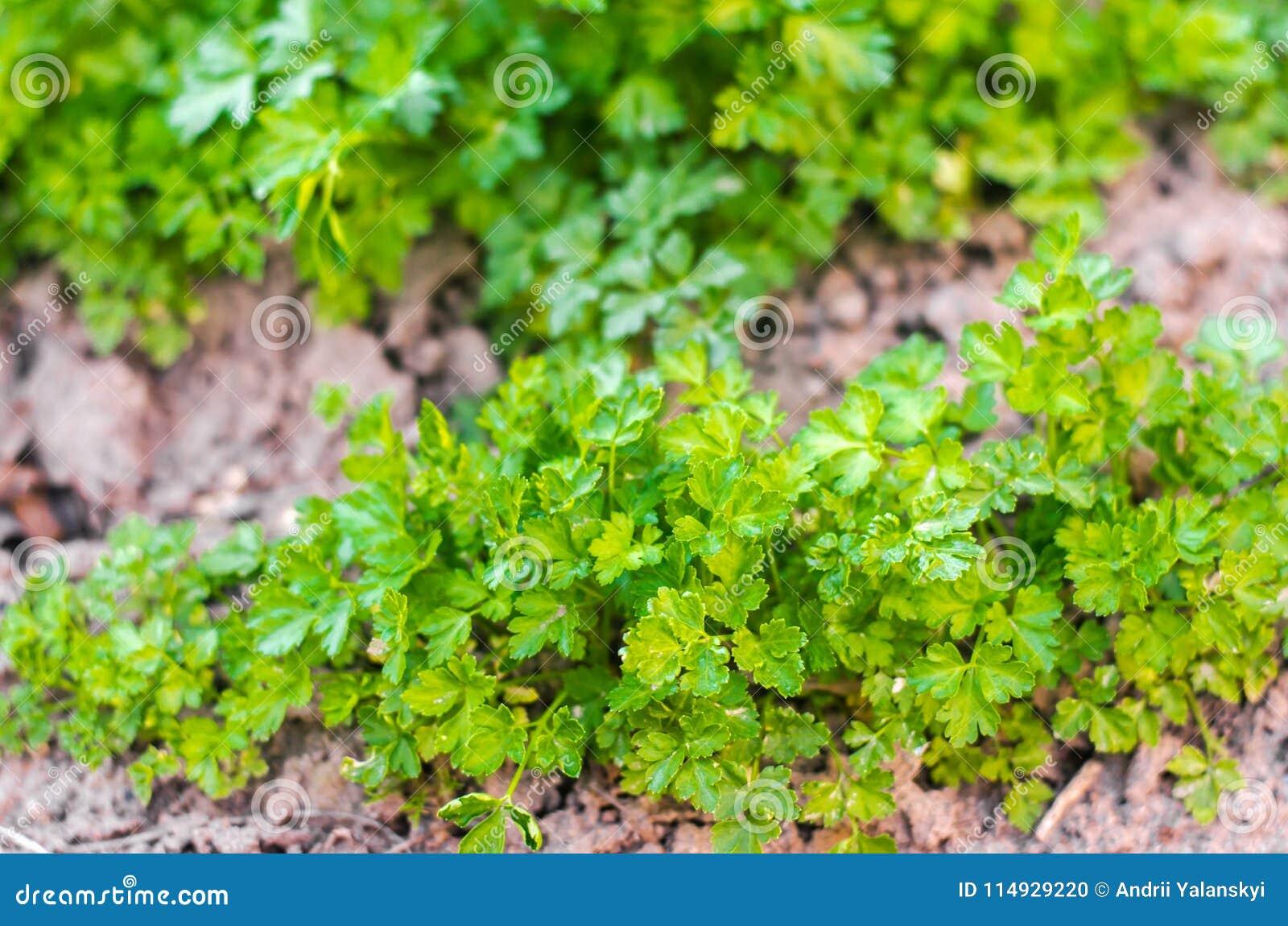 Свежая петрушка в саде, растя в строках Конец-вверх поле, ферма, растущие травы
