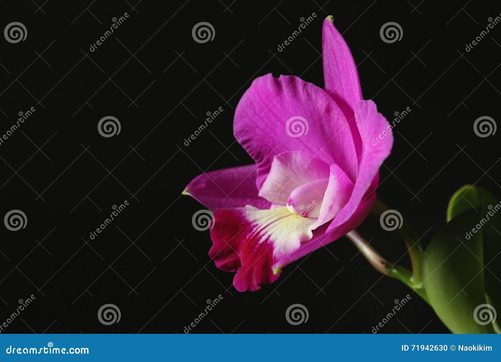 Свежая розовая деталь орхидеи в темноте