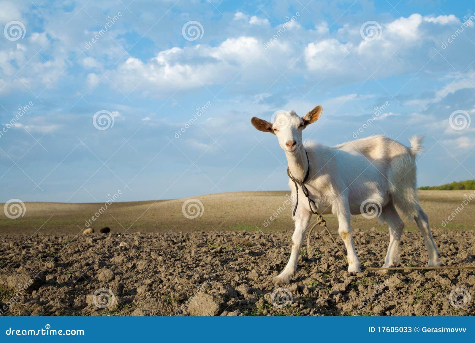 свежая трава козочки смотря молод