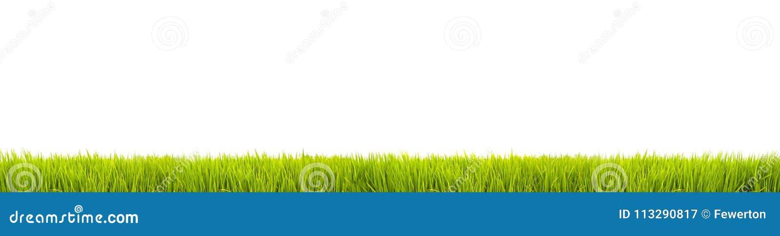Свежее знамя панорамы зеленой травы большое как граница рамки в безшовной пустой белой предпосылке