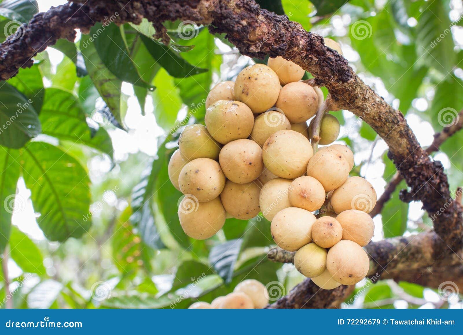Download Свежее южное Langsat на своем дереве после идти дождь в Таиланде Стоковое Изображение - изображение насчитывающей плодоовощ, поле: 72292679