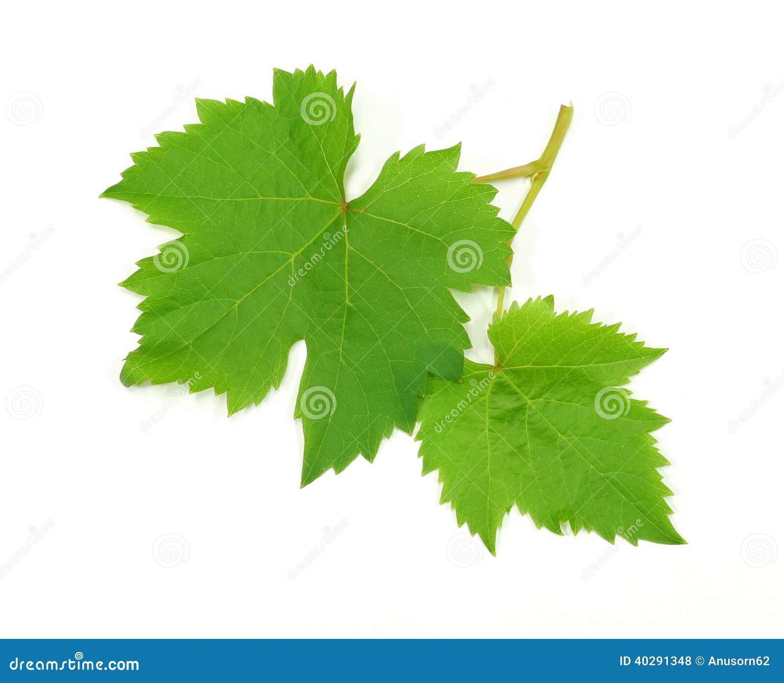 Свежие зеленые лист виноградины