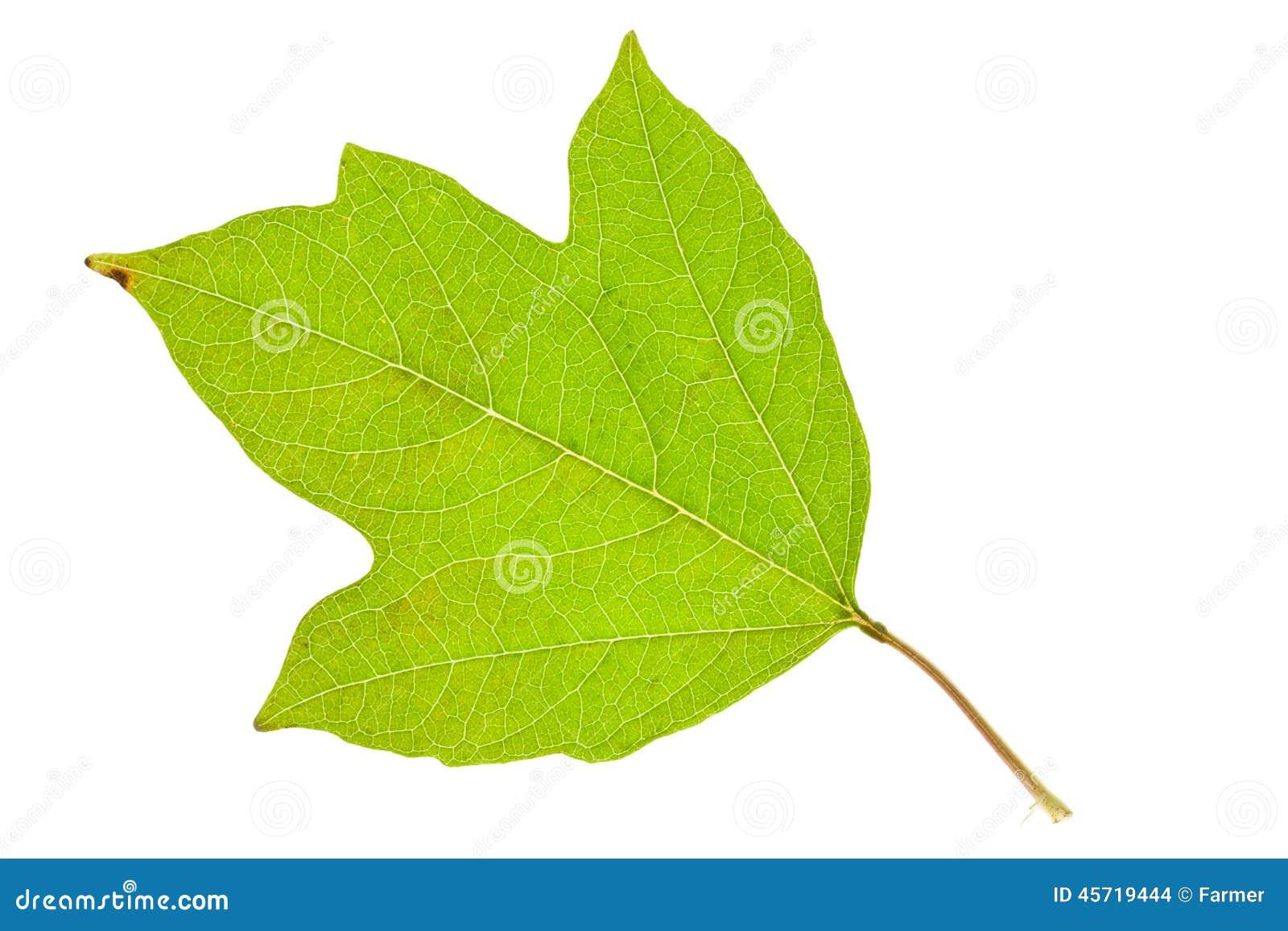 листок калини