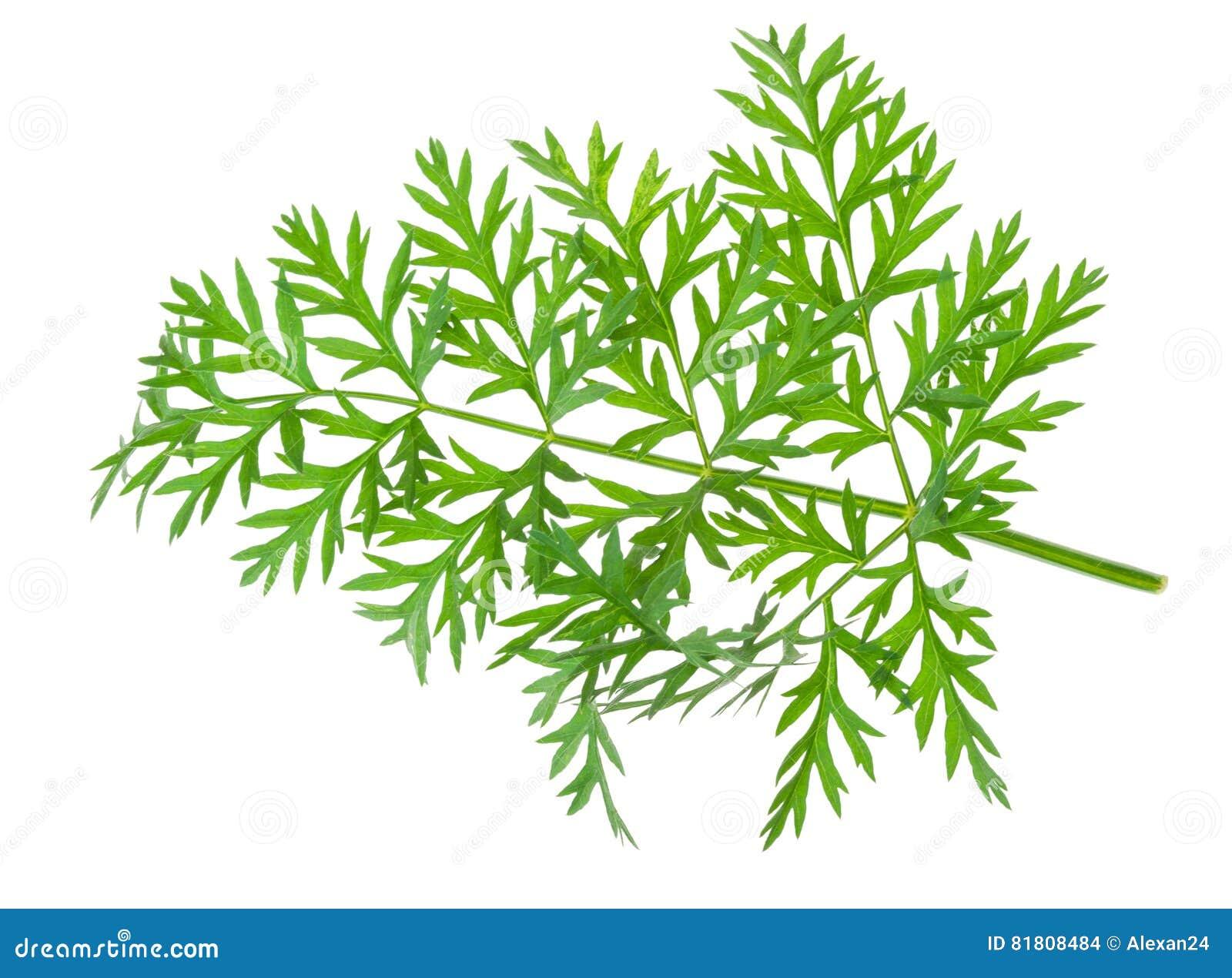 Свежие лист морковей