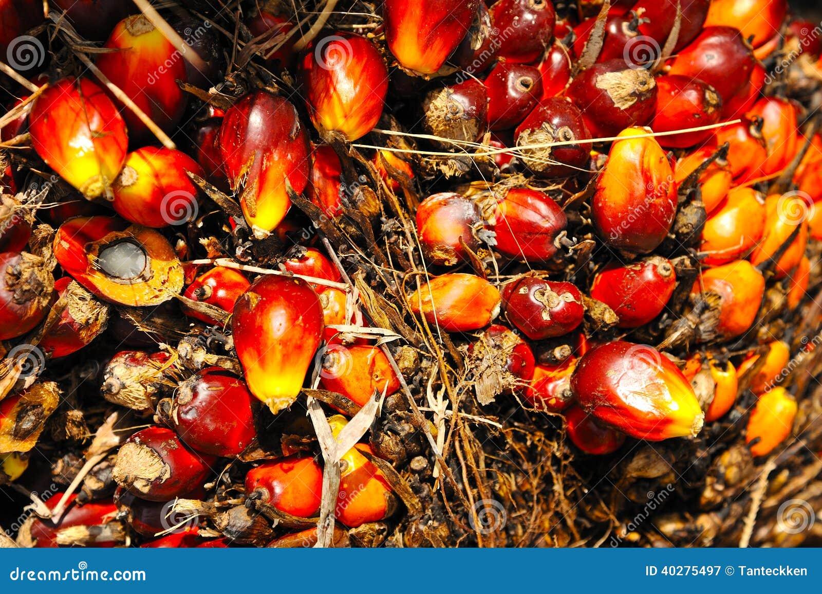 Свежие плодоовощи масличной пальмы