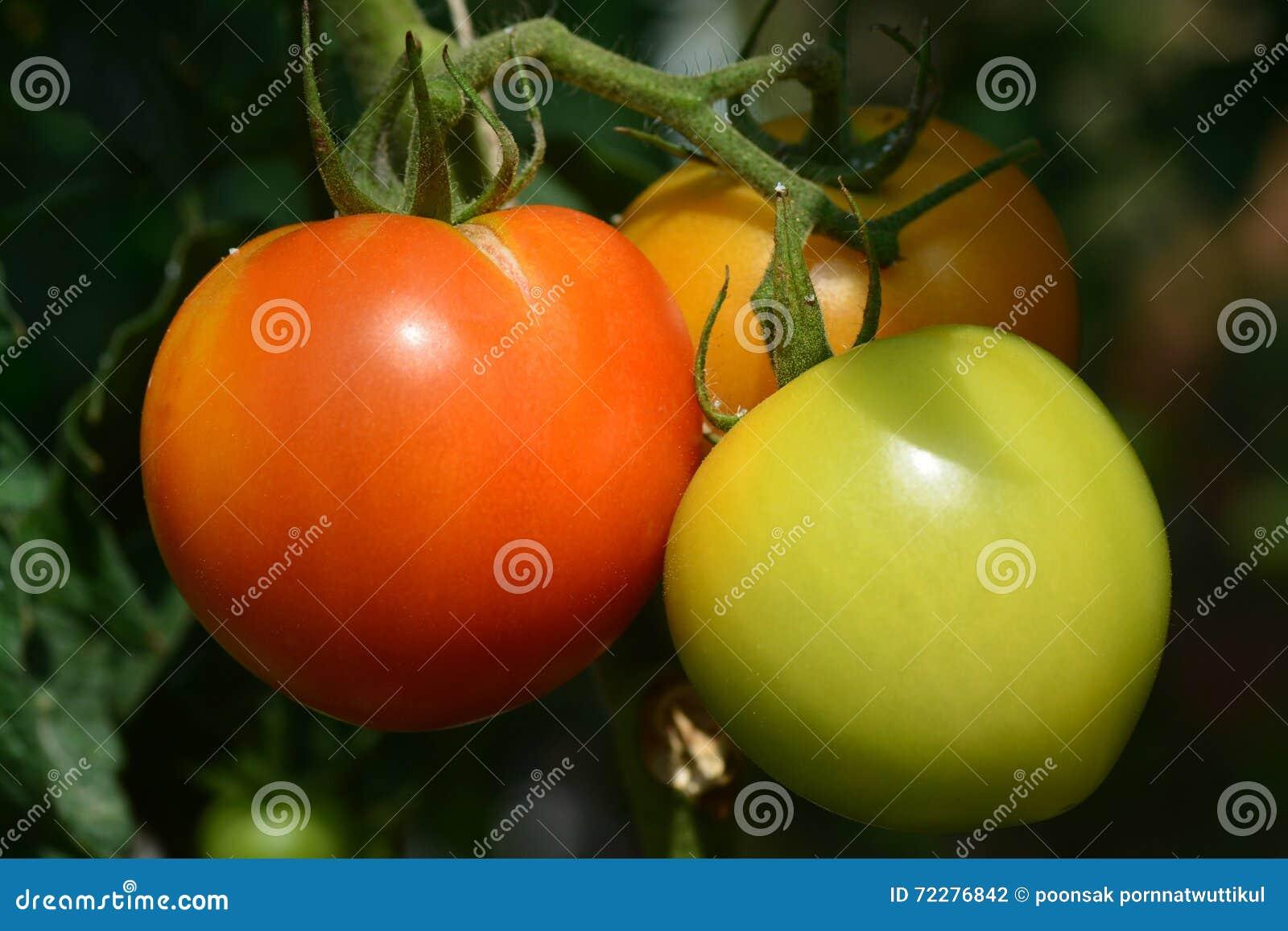 Download Свежие томаты на заводе дерева Стоковое Фото - изображение насчитывающей овощ, диетпитание: 72276842