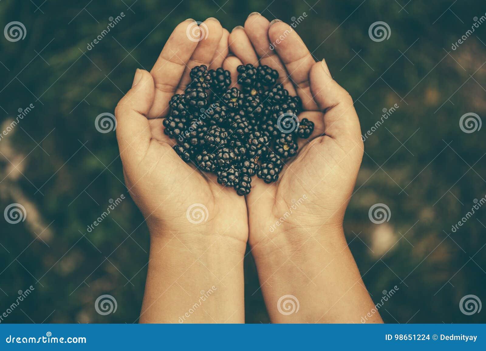 Свежие черные ежевики в руках ` s девушки, взгляд сверху