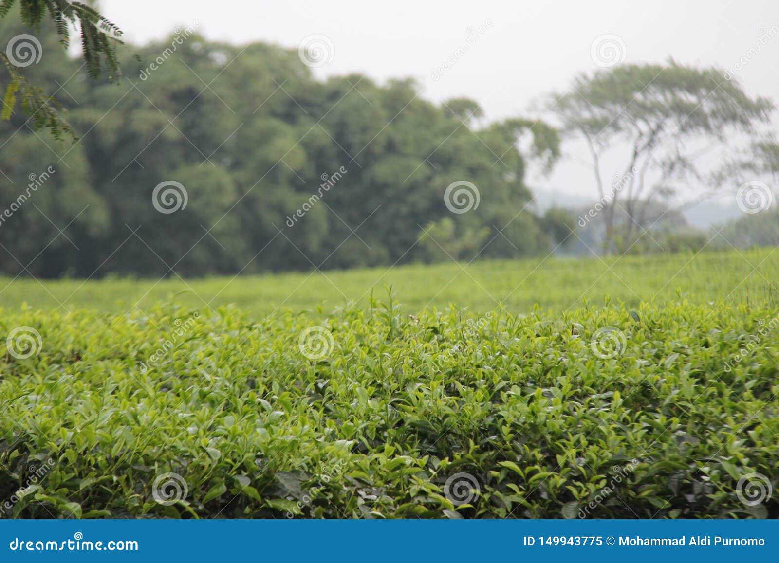 Свежий зеленый чай выходит на холм kuneer, Malang - Индонезию