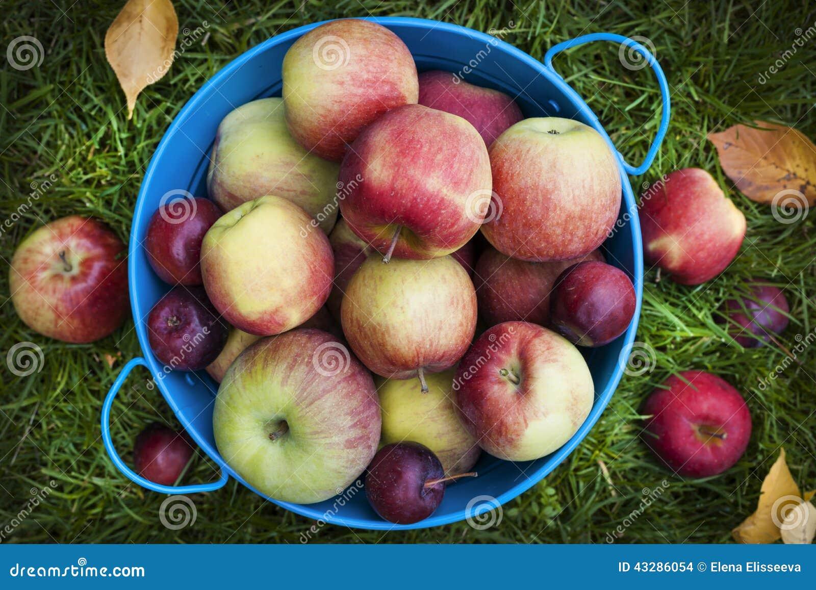 Свежий сбор яблок