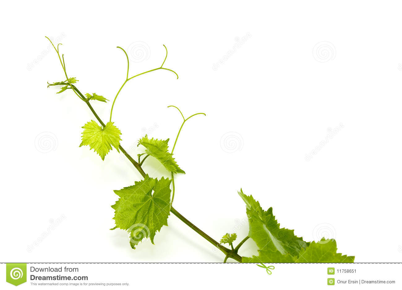 свежим белизна листьев виноградины изолированная зеленым цветом