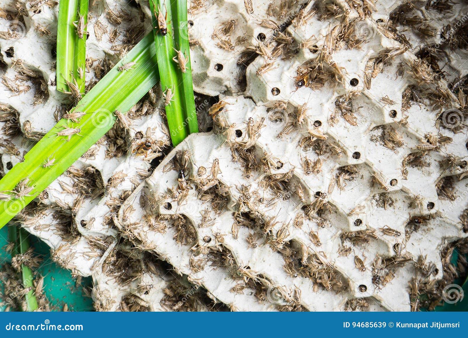 Сверчки, насекомые птицы которые подают для того чтобы зажарить и съесть как закуска