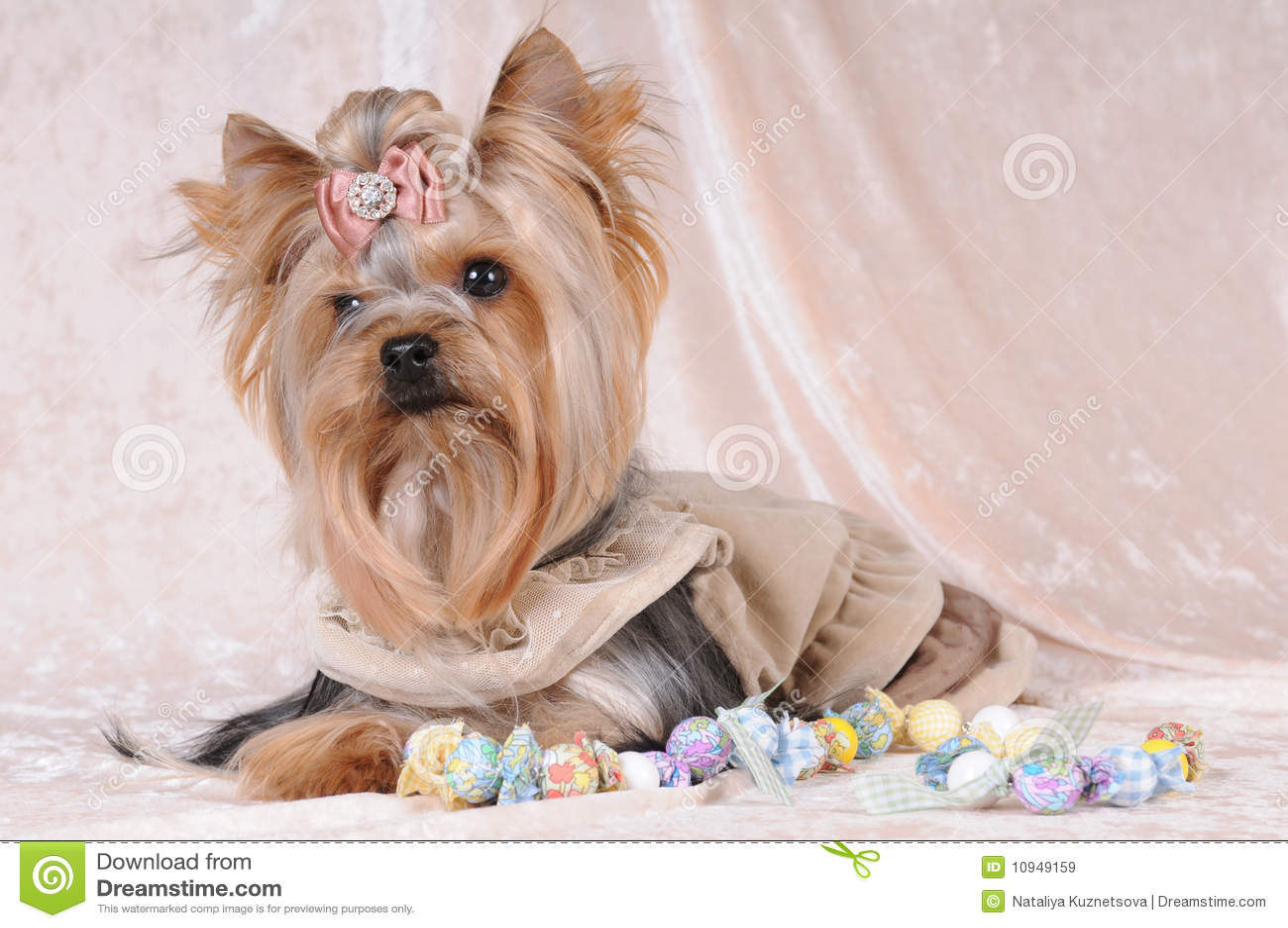 светлый бархат yorkshire terrier liyng