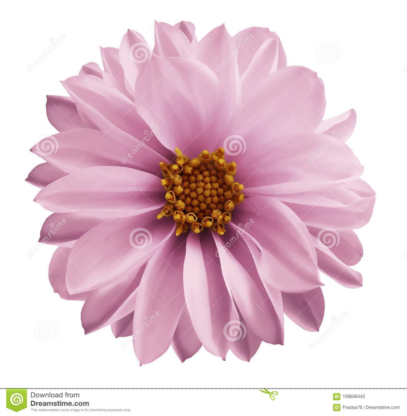 Свет георгина - розовый цветок на белизне изолировал предпосылку с путем клиппирования Крупный план отсутствие теней Цветок сада