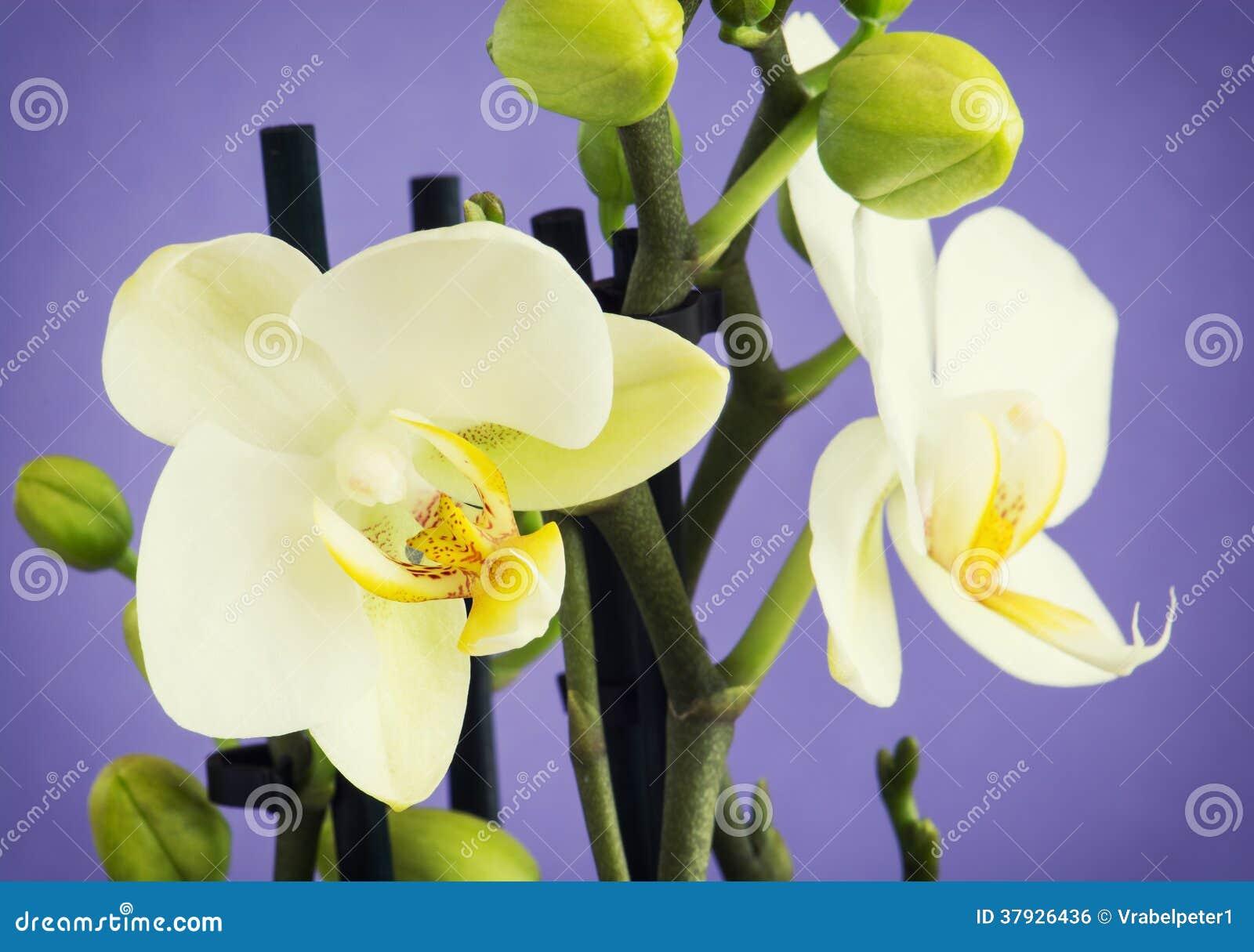 Свет - желтые цветки орхидеи с бутонами