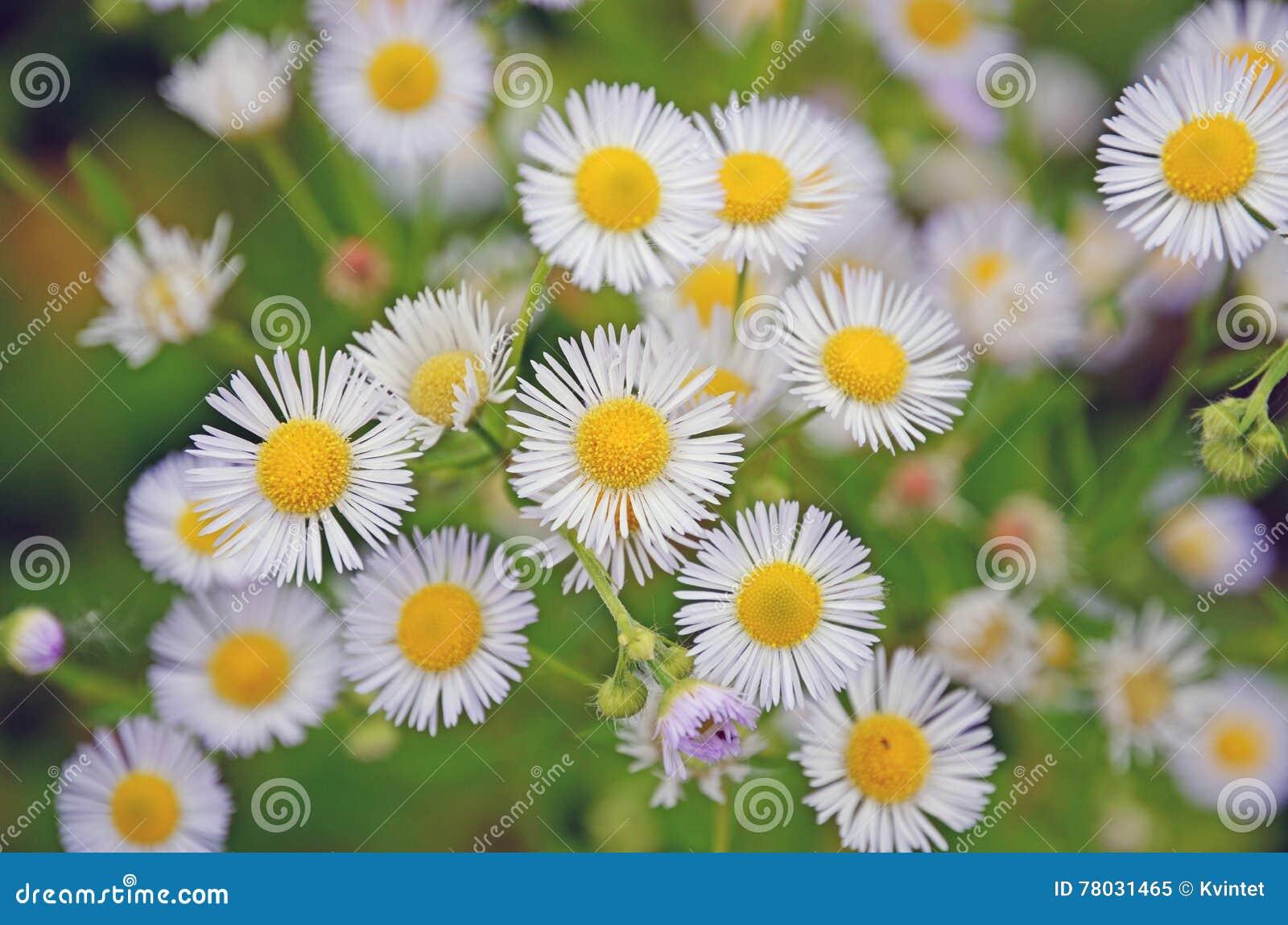 Свет предпосылки малый - синь цветет одичалые маргаритки