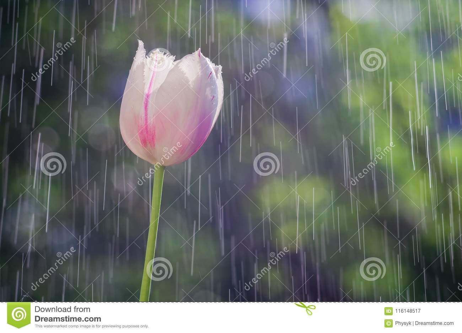 Свет - розовый тюльпан на предпосылке дождя падает следы