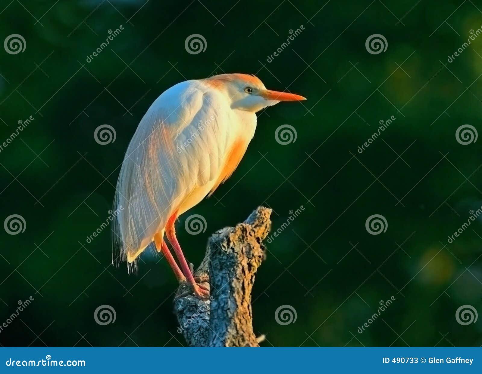 свет egret скотин золотистый