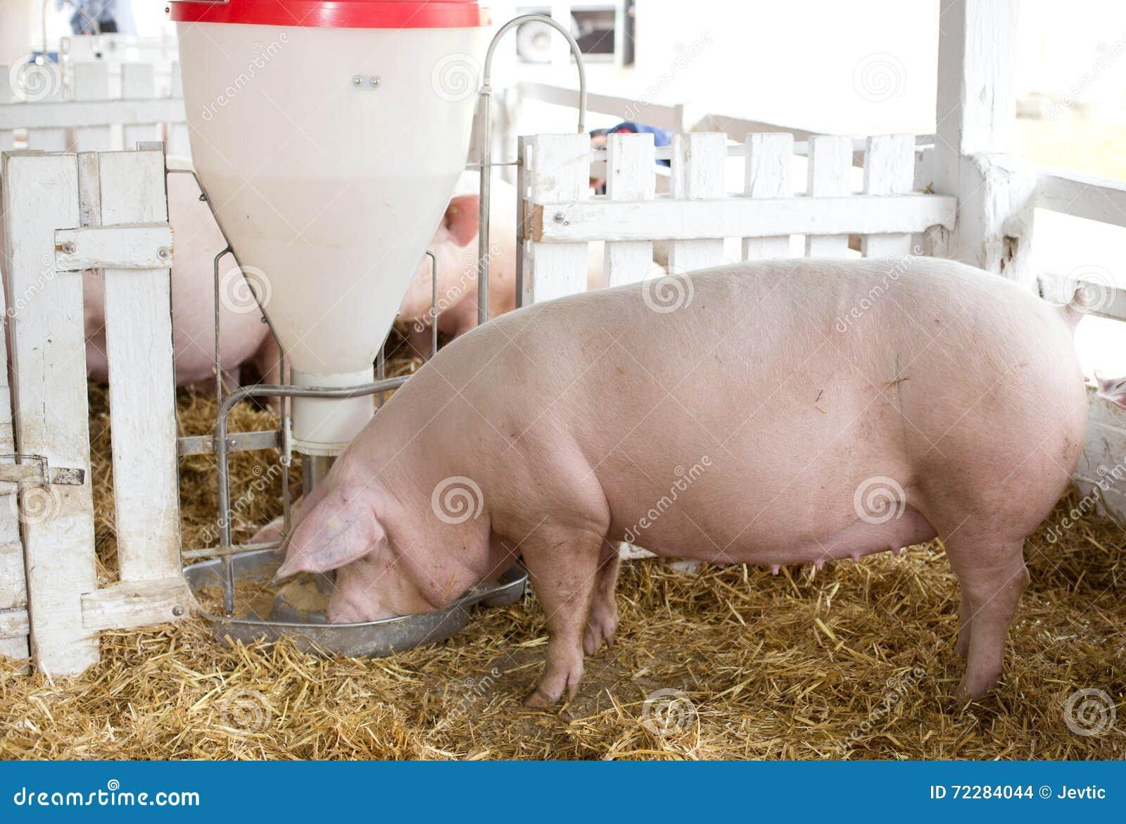 Download Свиньи есть от фидера борова Стоковое Фото - изображение насчитывающей countryside, экологичность: 72284044