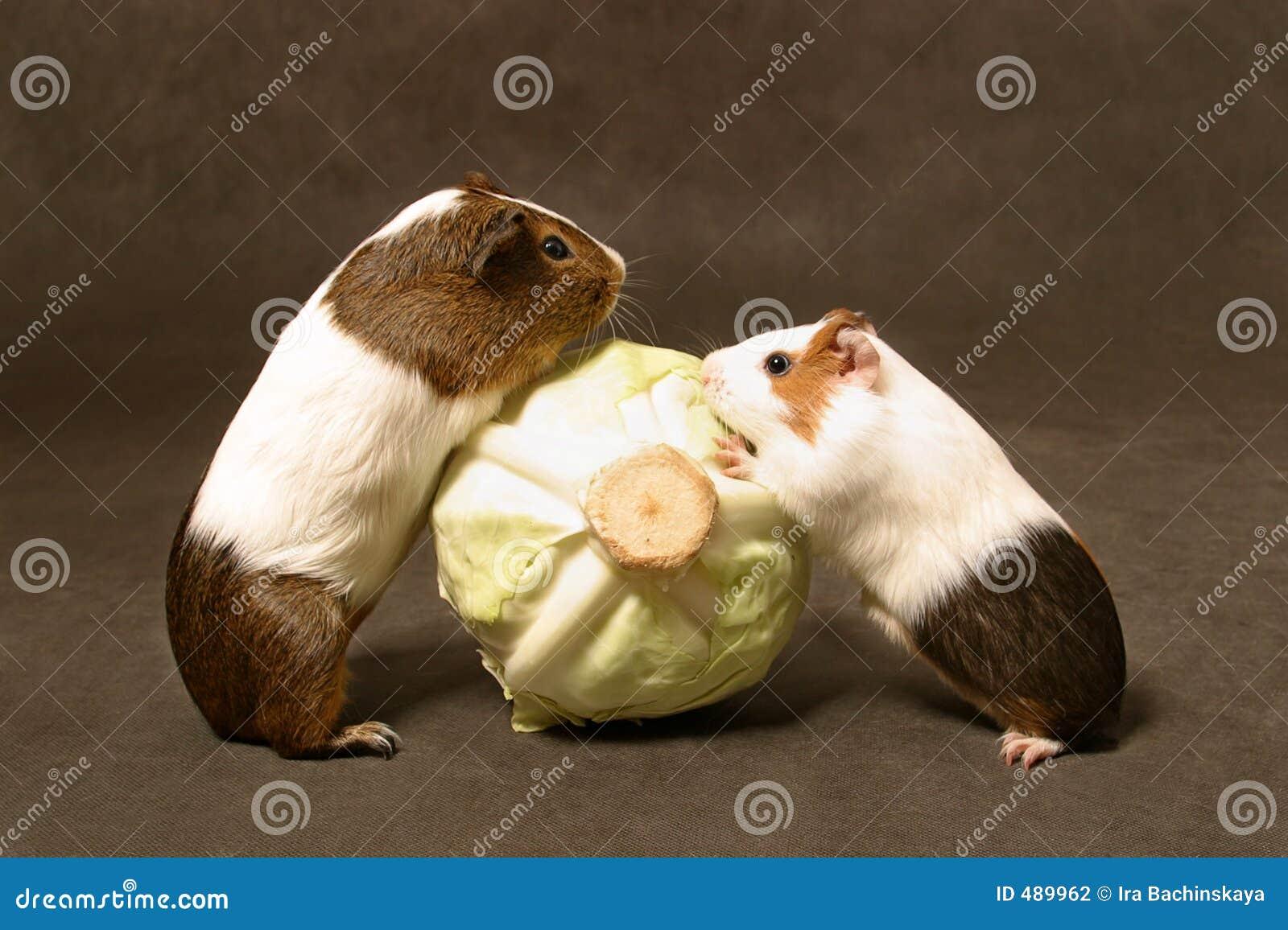 свиньи обеда