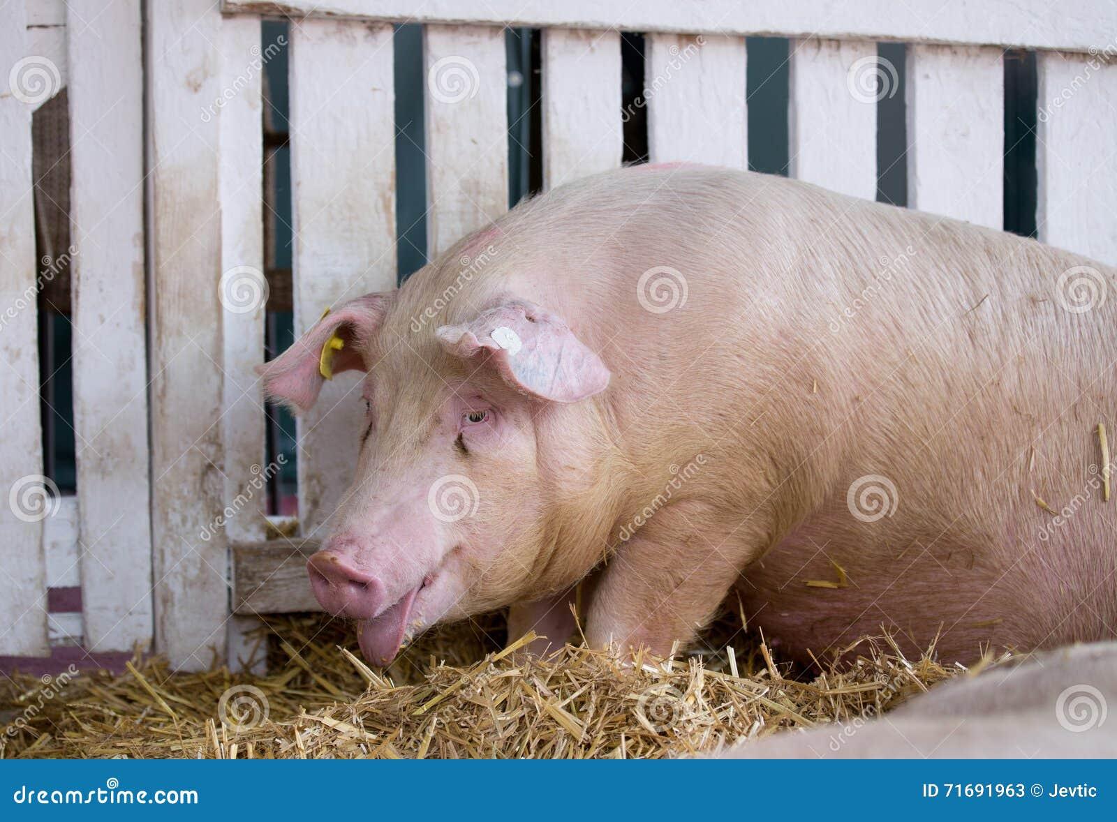Свинья задыхаться в ручке