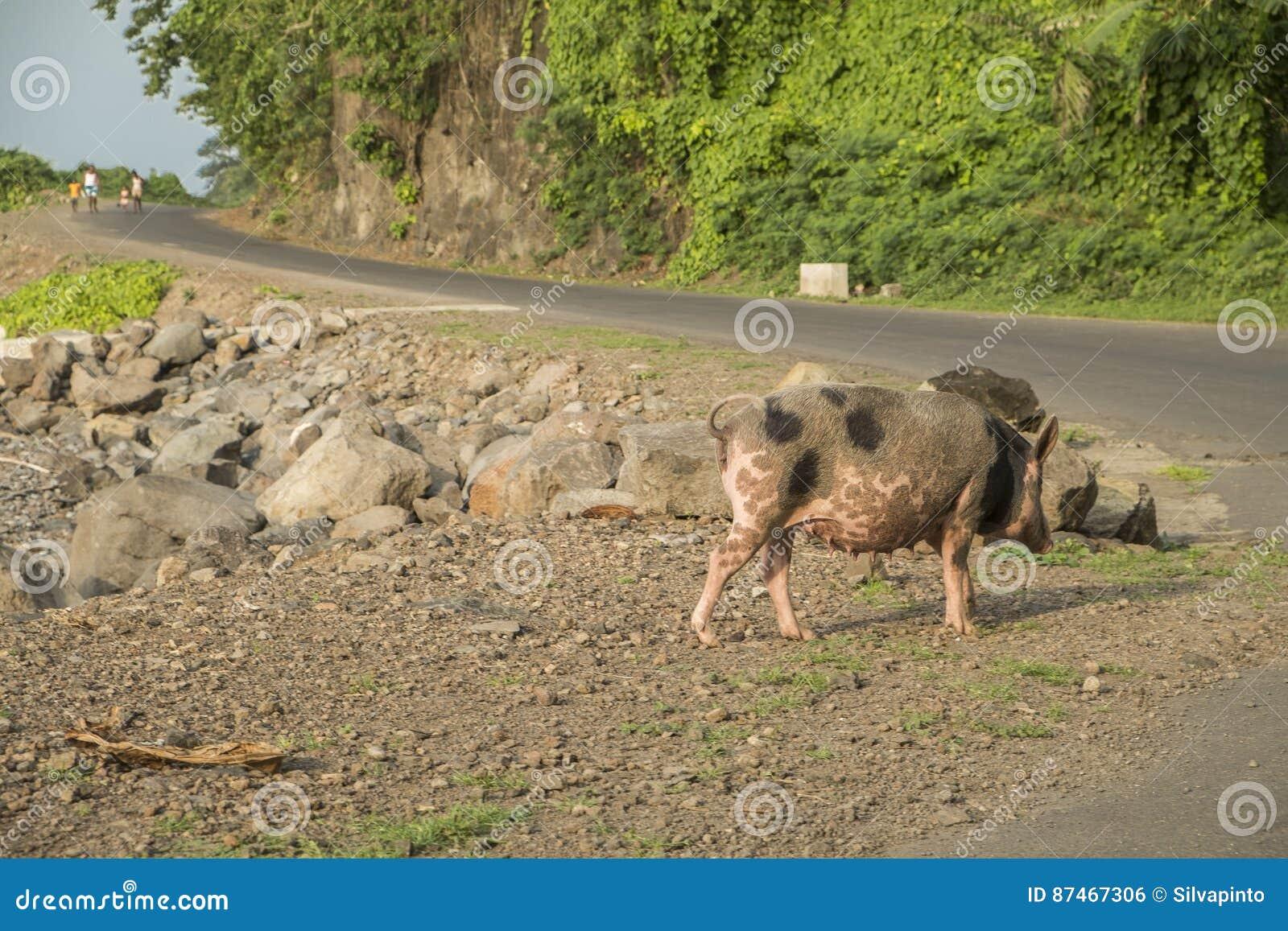 Свинья, который будет идти море