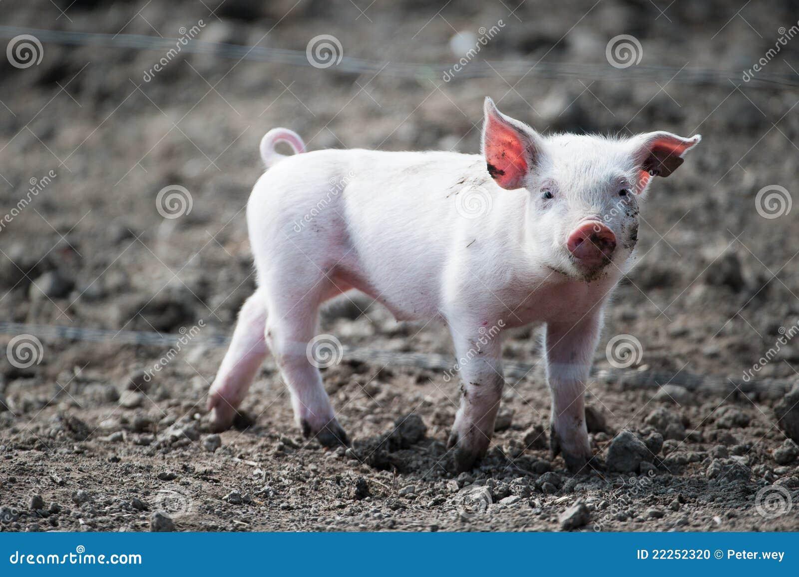 свинья младенца милая счастливая