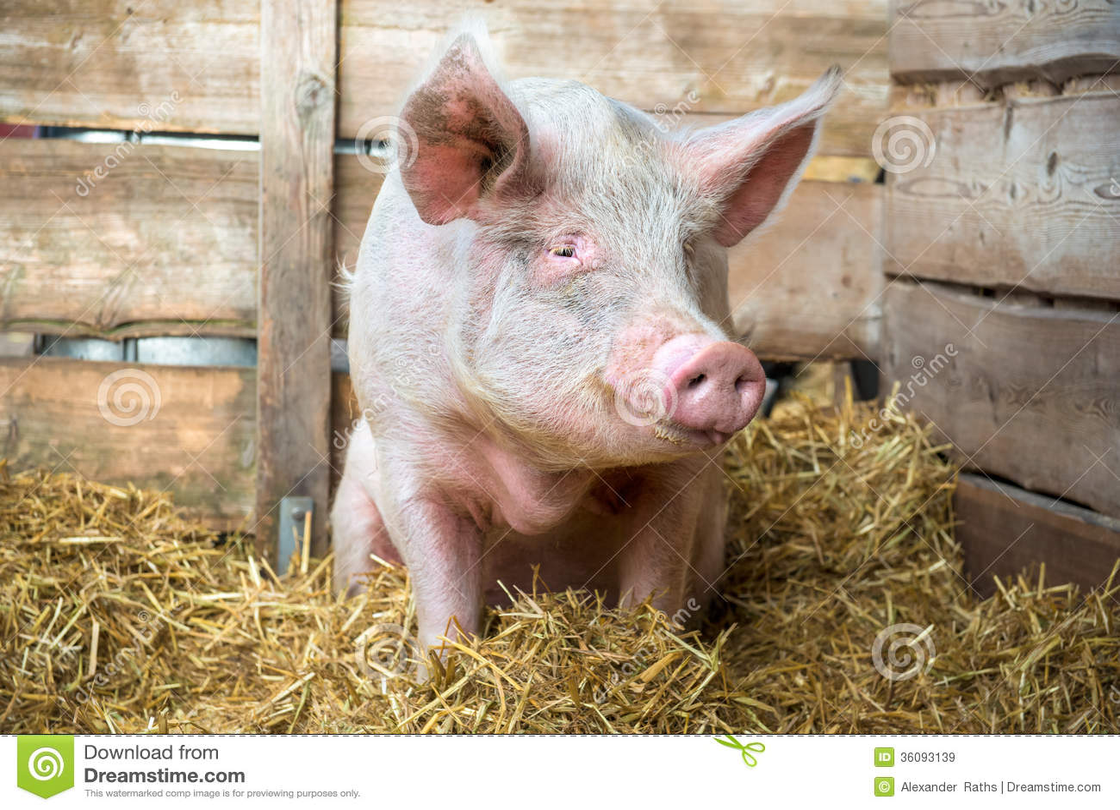 Свинья на сене и соломе