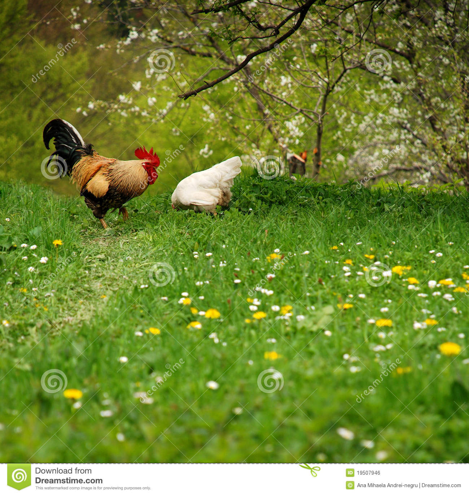 свободная курица его весна петуха