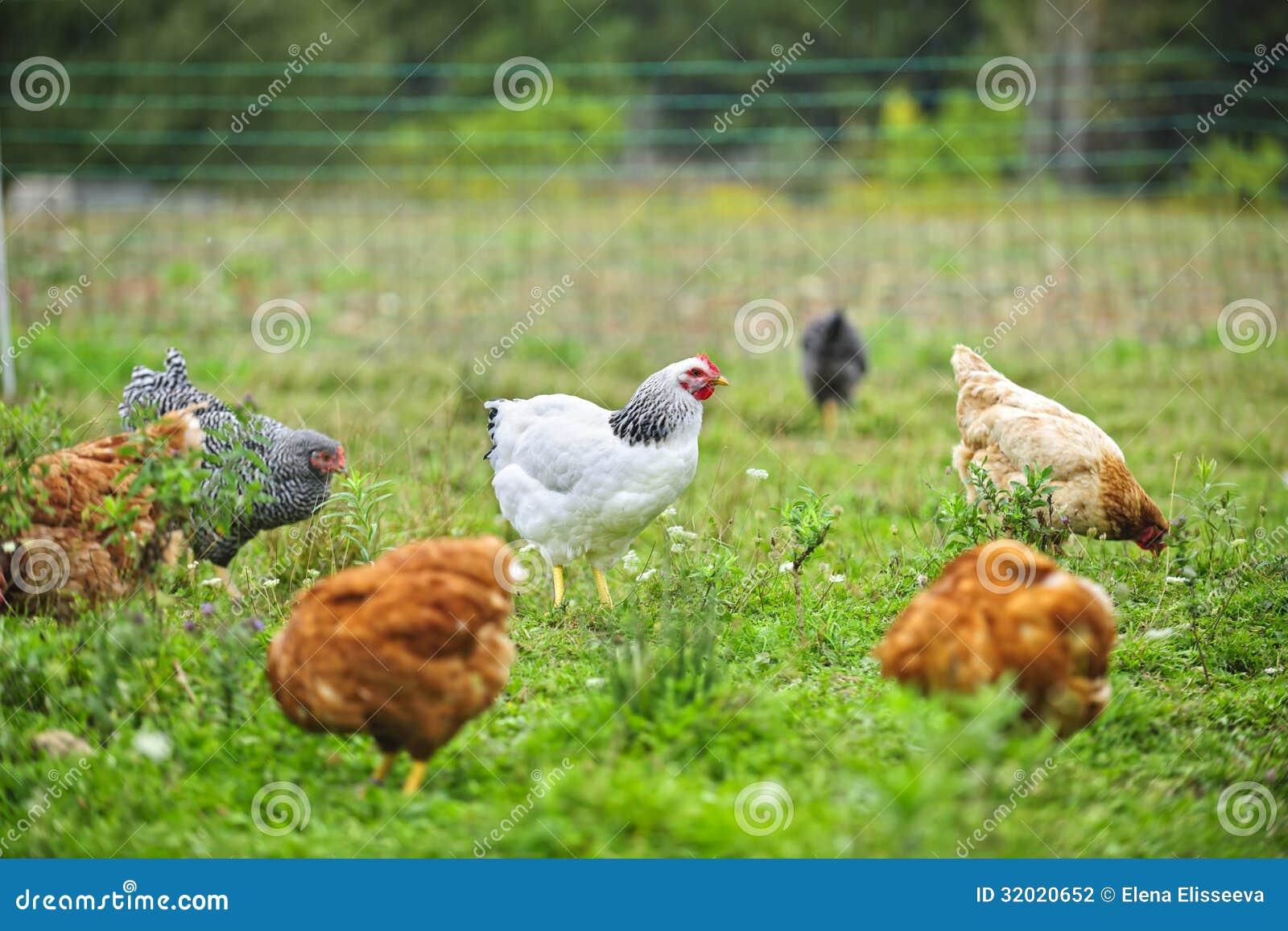 Свободные цыплята ряда на ферме