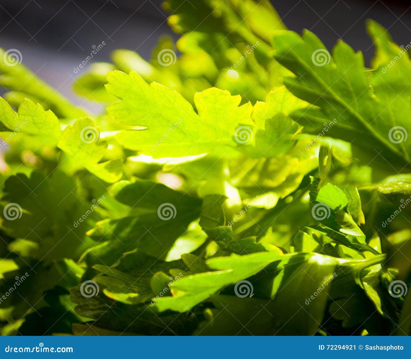 Download Связанная свежая петрушка стоковое изображение. изображение насчитывающей трава - 72294921