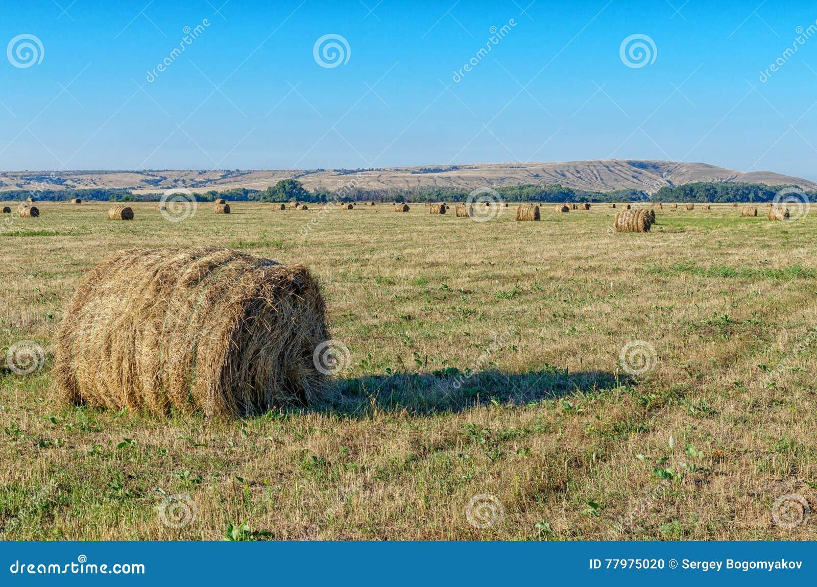 Связки соломы на обрабатываемой земле на заходе солнца Стога сена кладут на желтое поле в золотом свете заходящего солнца Голубое