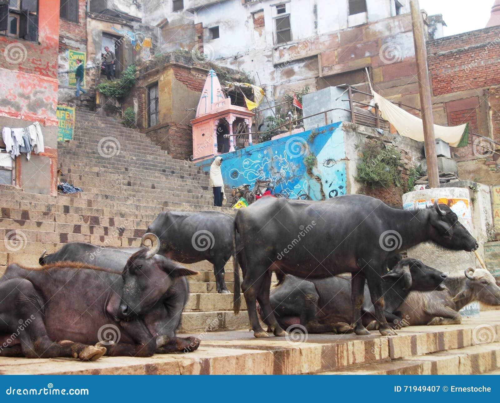 Святые коровы в Священном городе Варанаси в Индии