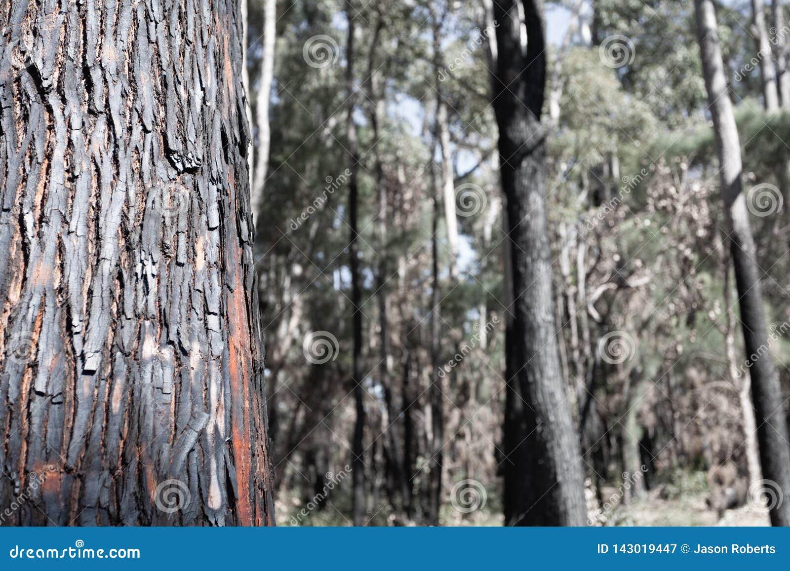 Сгоренный, сгоренный, ствол дерева лесного пожара в переднем плане с из деревьями фокуса в предпосылке