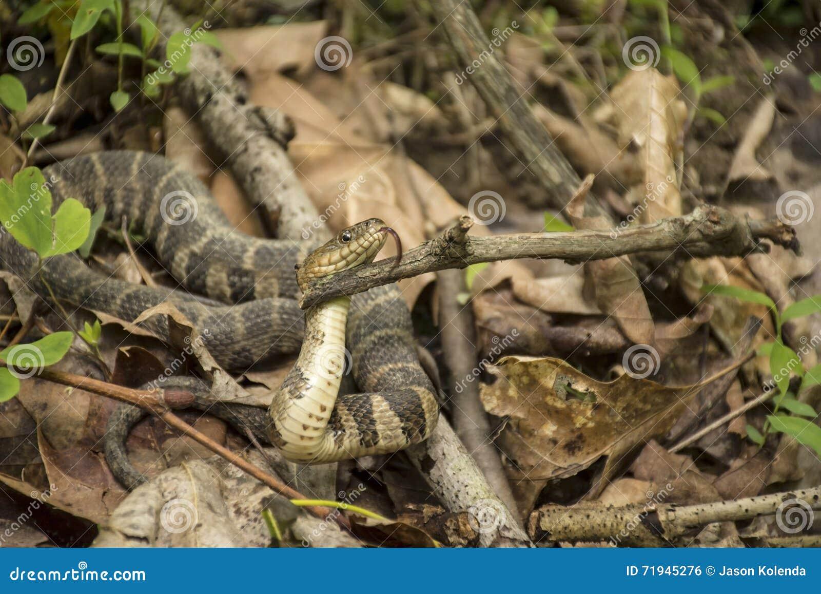 Северная змейка воды - показывать язык