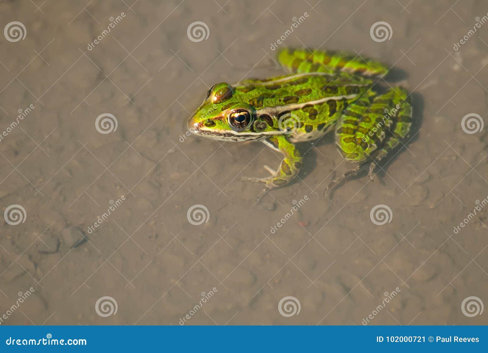 Северная лягушка леопарда