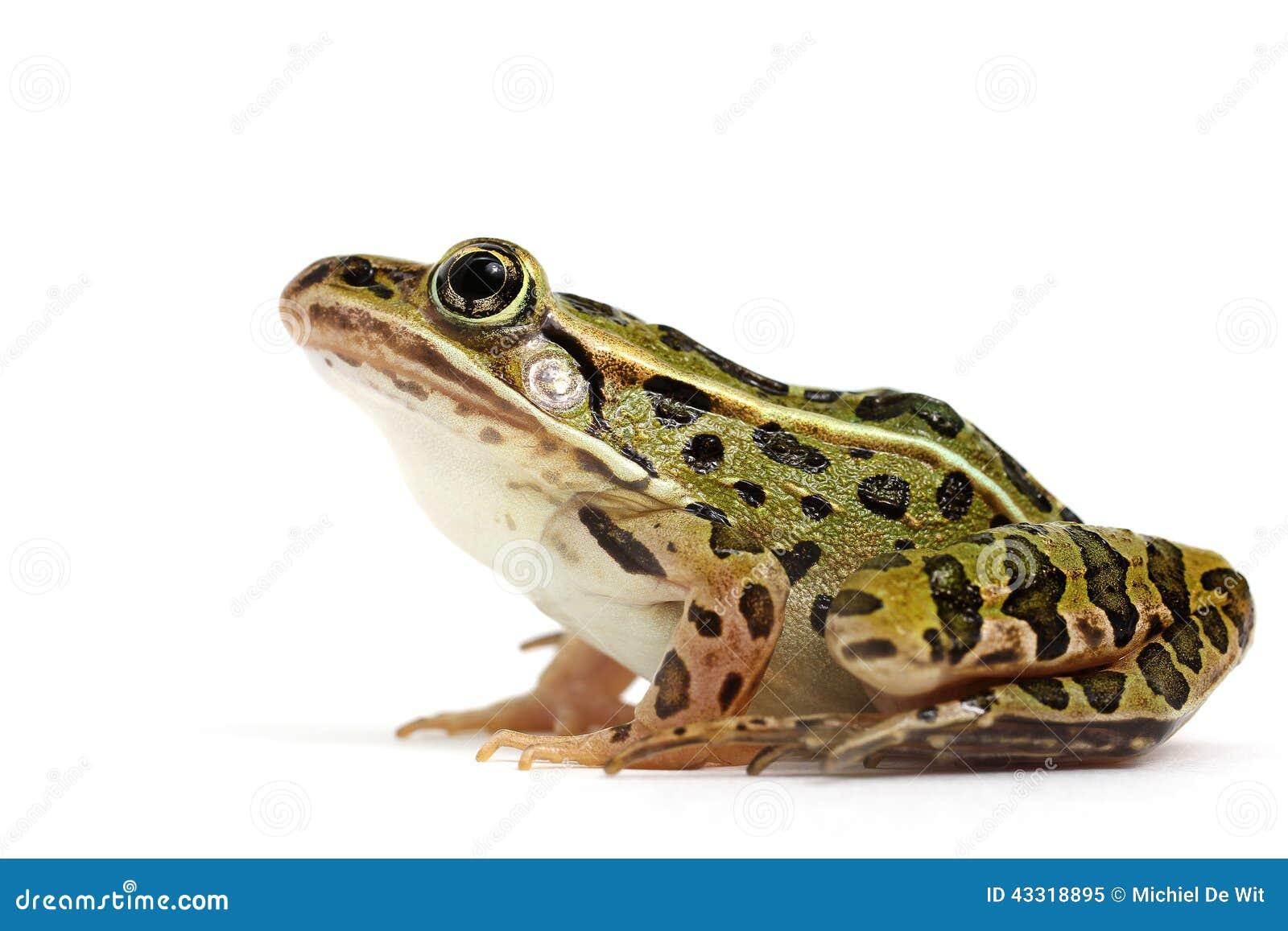 Северная лягушка леопарда (pipiens Lithobates)