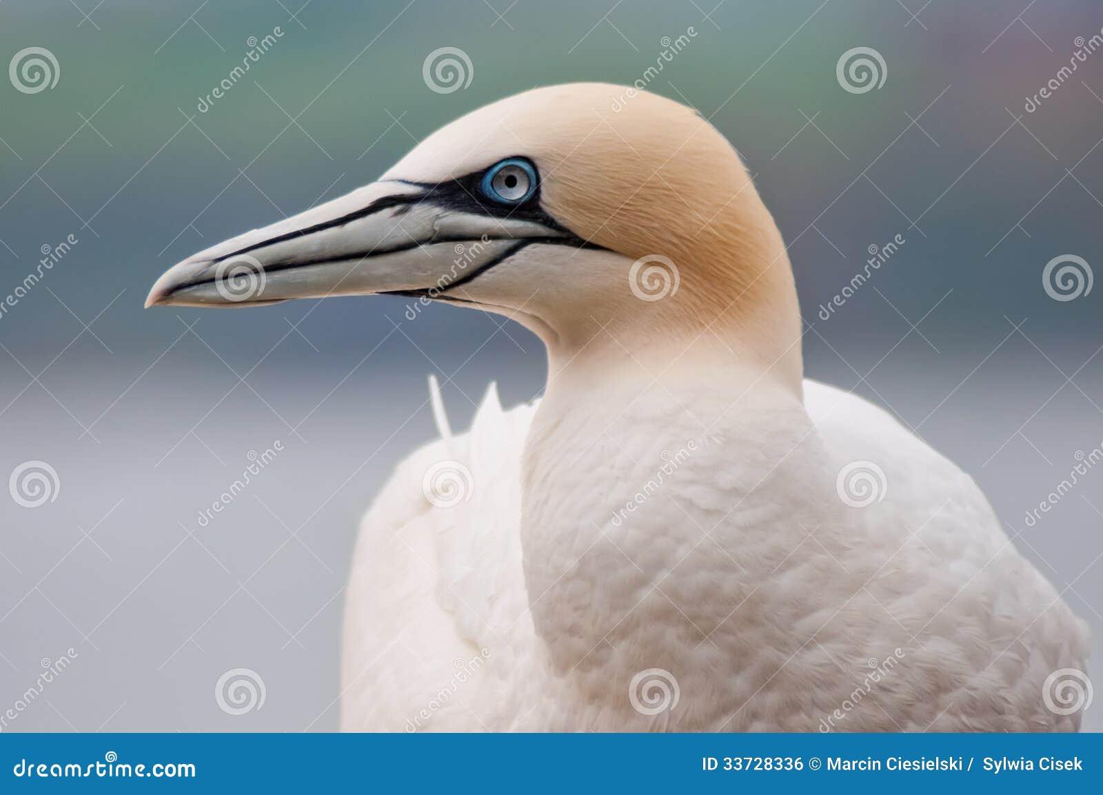 Северное gannet
