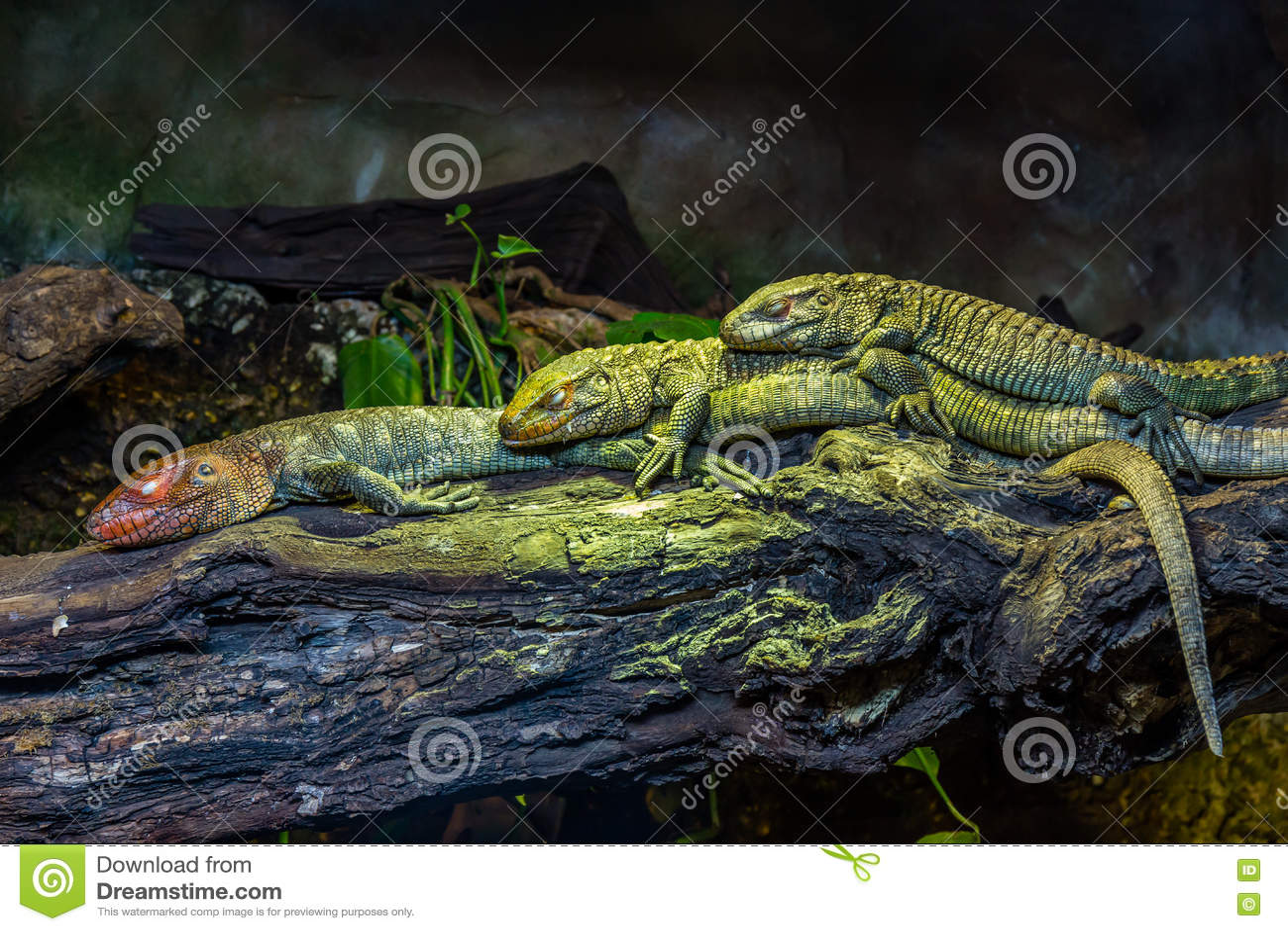 3 северных ящерицы Caiman