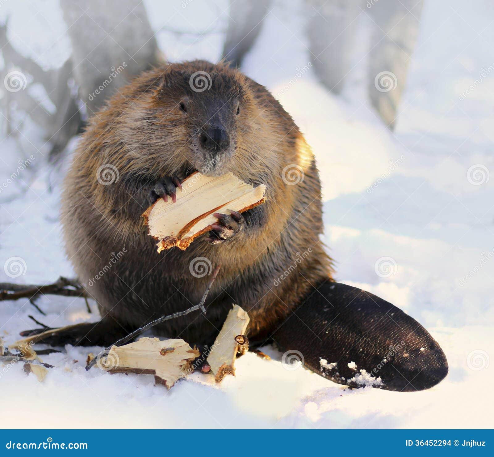 Североамериканский бобр