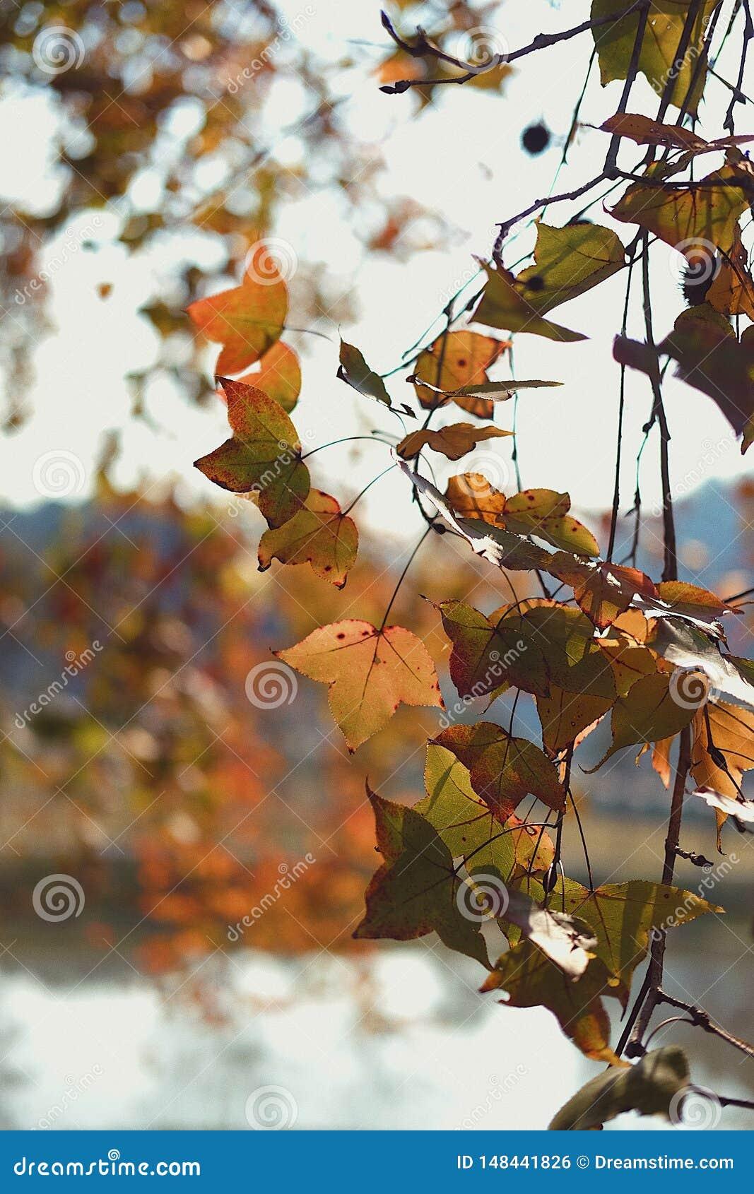 Сезон осени с изменяя кленовым листом