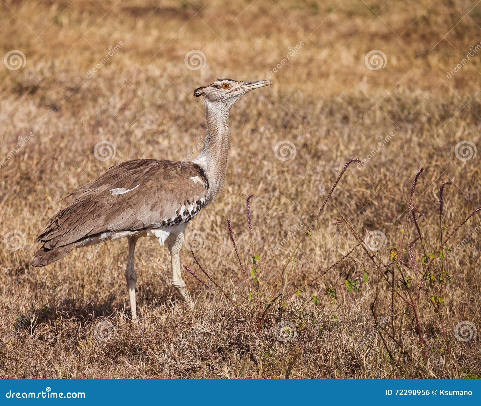 Download Секретарша птица стоковое фото. изображение насчитывающей трава - 72290956
