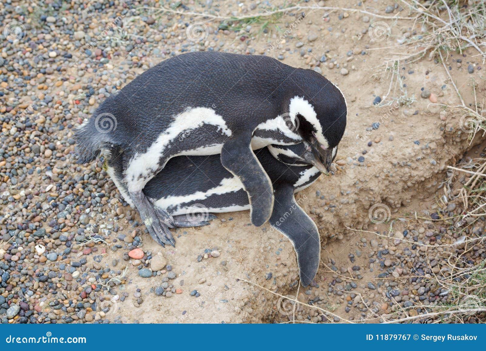 Пингвин и девушка секс
