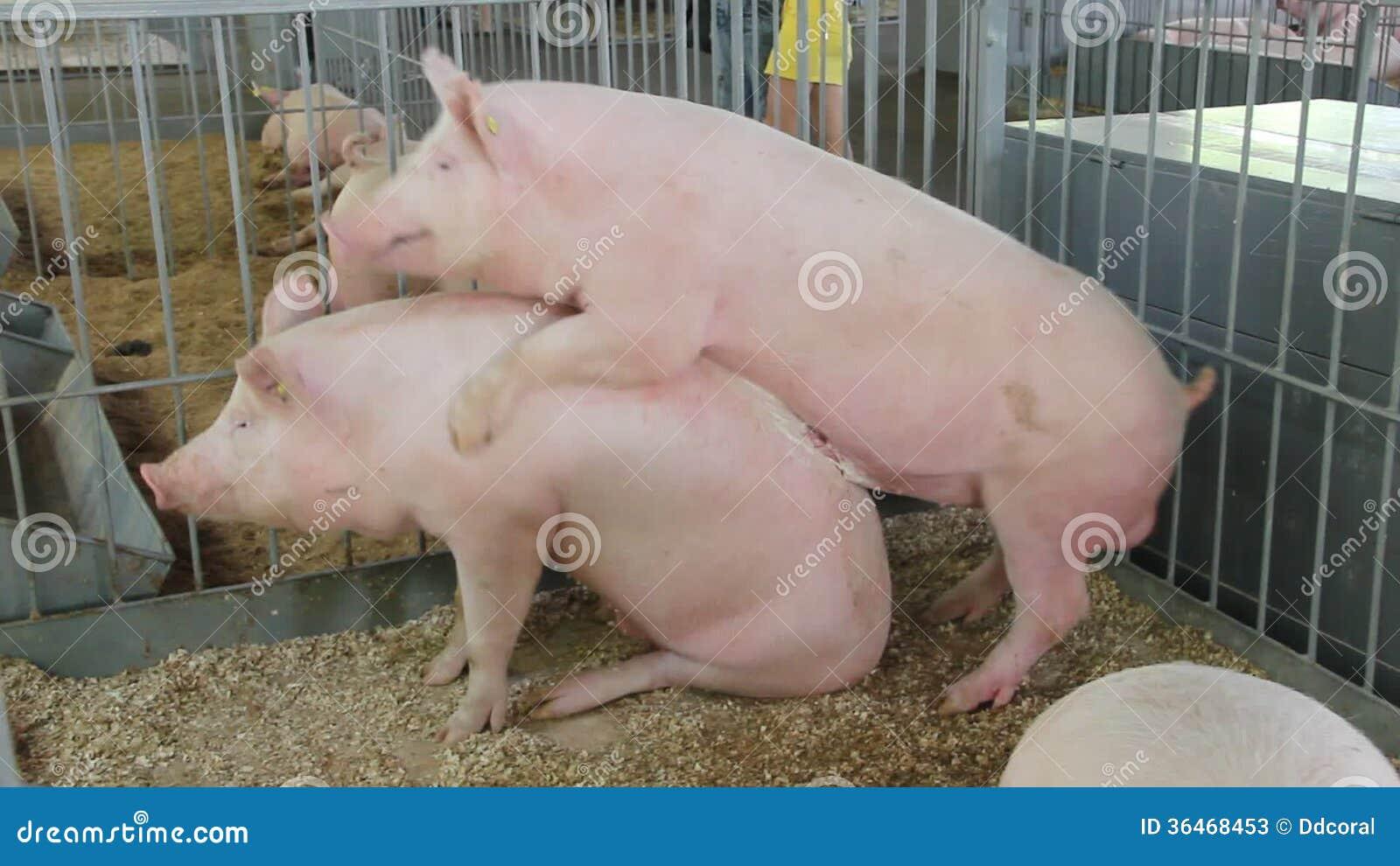 Секс с свинем