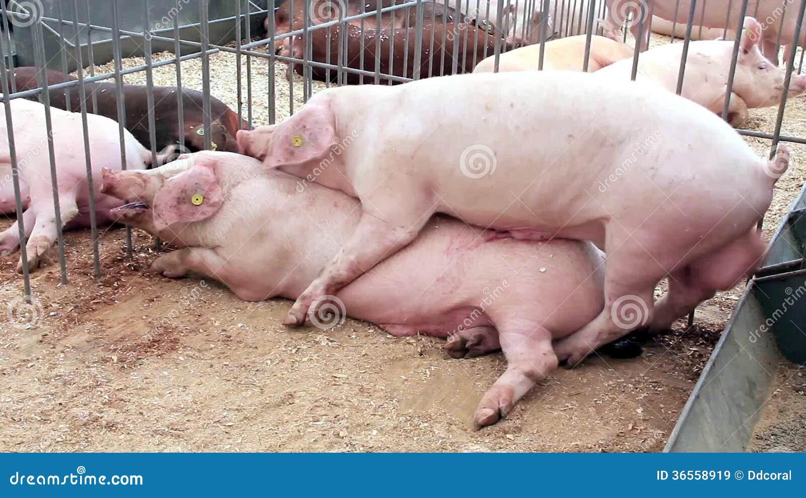 Смотреть секс свиней