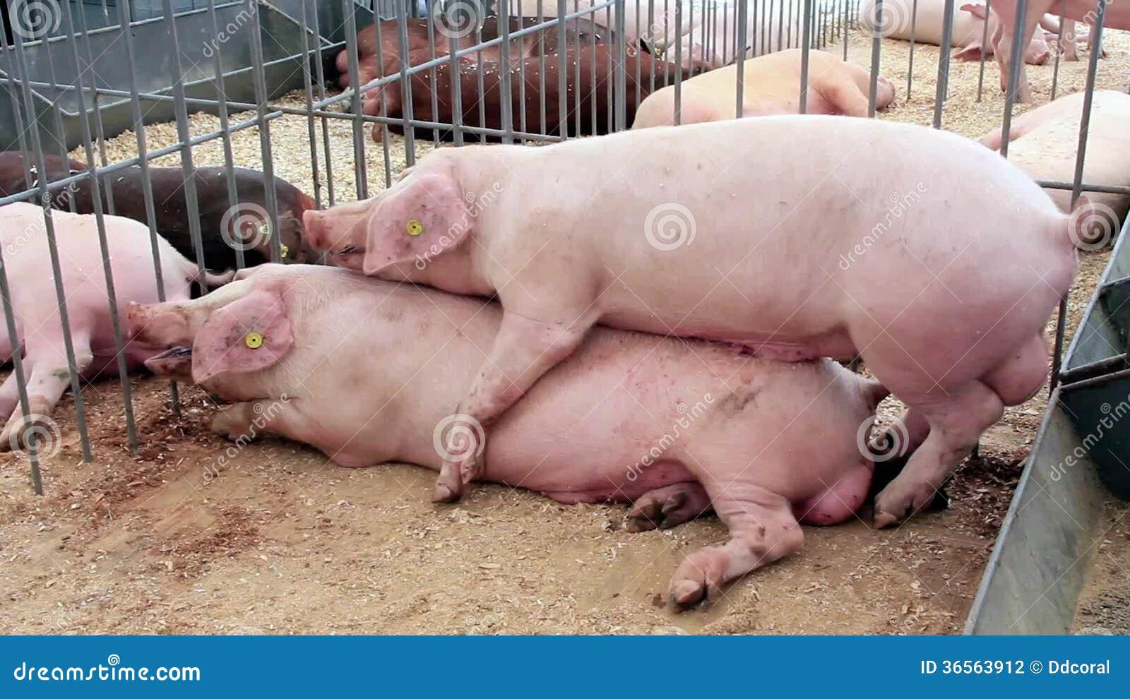 Свиньи ебут женщин порно онлайн