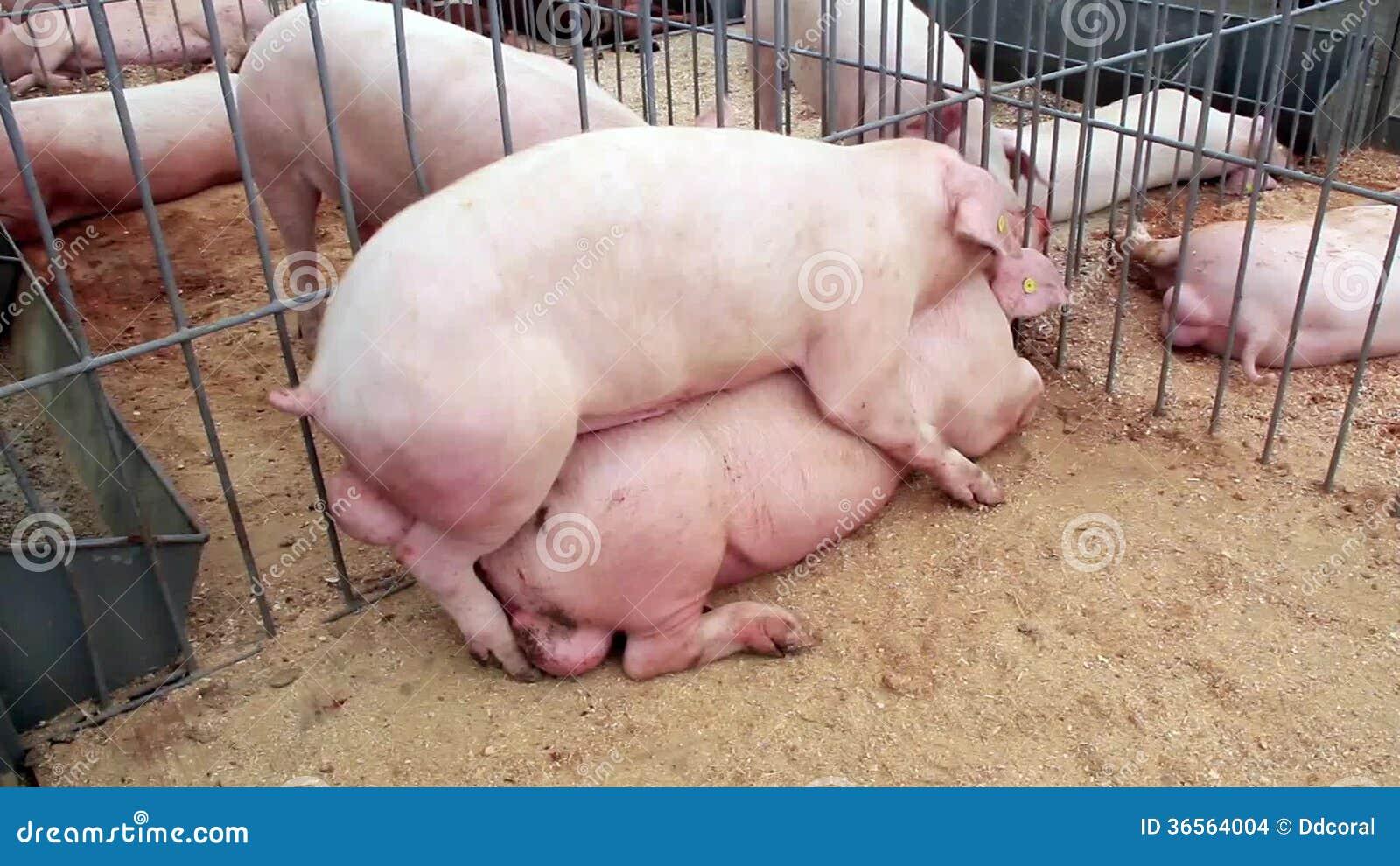 Секс со свиньями смотреть бесплатно