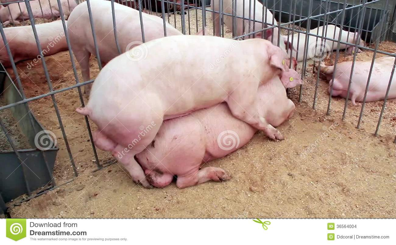 Секс мужчины со свиньями